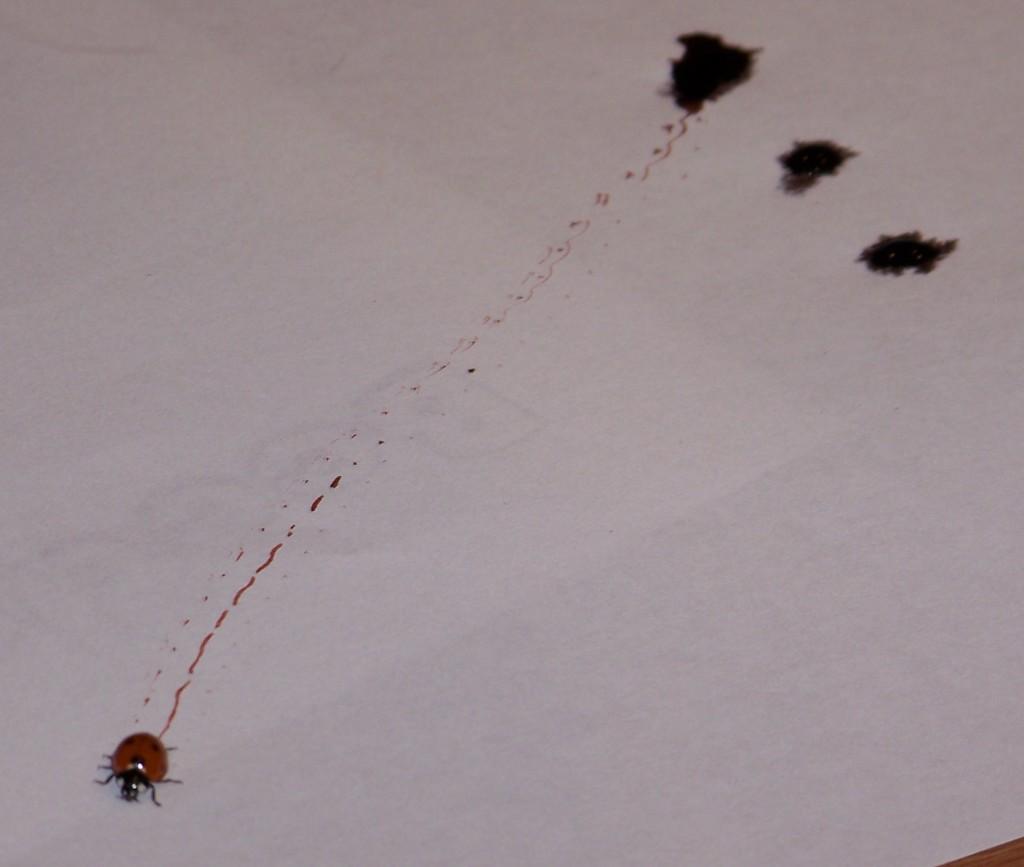 A ladybird beetle making tracks.