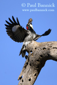 Acorn_Wodpecker_K4Q8847_offering_Share