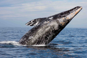 Gray Whale Image
