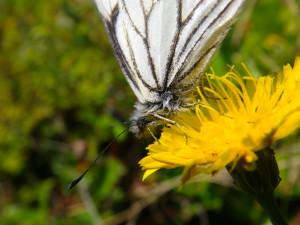 pine white nectaring 2